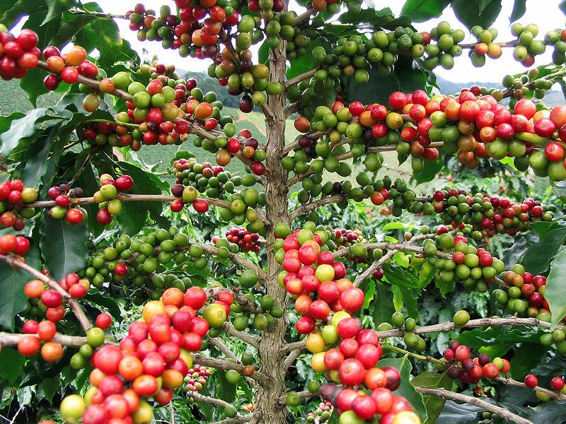 кофейные деревья виды